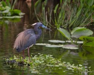 Little blue heron mating plumage, Wakodahatchee Wetlands, Boynton Beach, FL