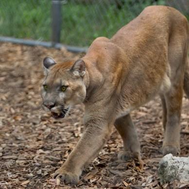 Florida Panther, Busch Wildlife Center, Jupiter, FL
