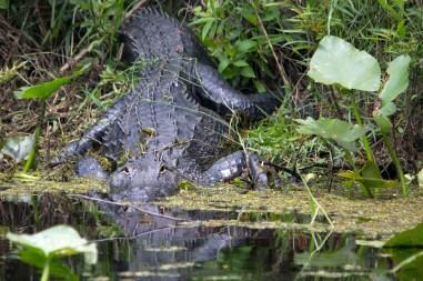 American Alligator, JW Corbett Wildlife Management Area, West Palm Beach, FL