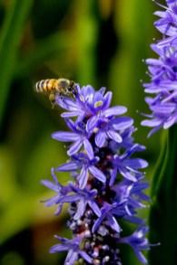Busy Bee, Wakodahatchee Wetlands, Boynton Beach, FL
