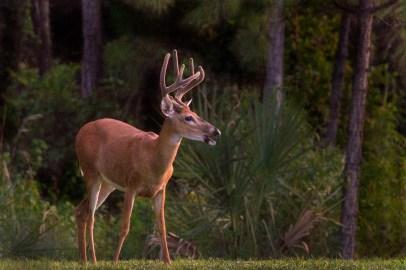 White Tailed Deer Buck, Halpatioke Park, Stuart, FL