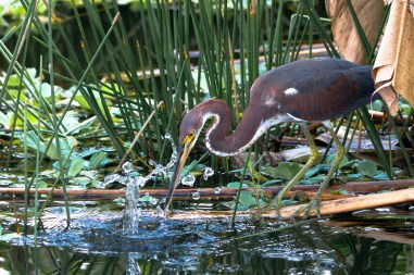 Focused Fisherman, Tricolored Heron, Wakodahatchee Wetlands, Boynton Beach, FL