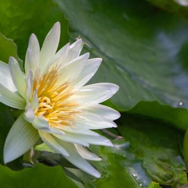 White Water Lily, Heathcote Botanical Gardens, Ft. Pierce, FL