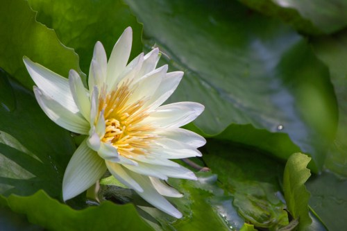 White Water Lily, Heathcote Botanical Gardens, Ft. Pierce, FL