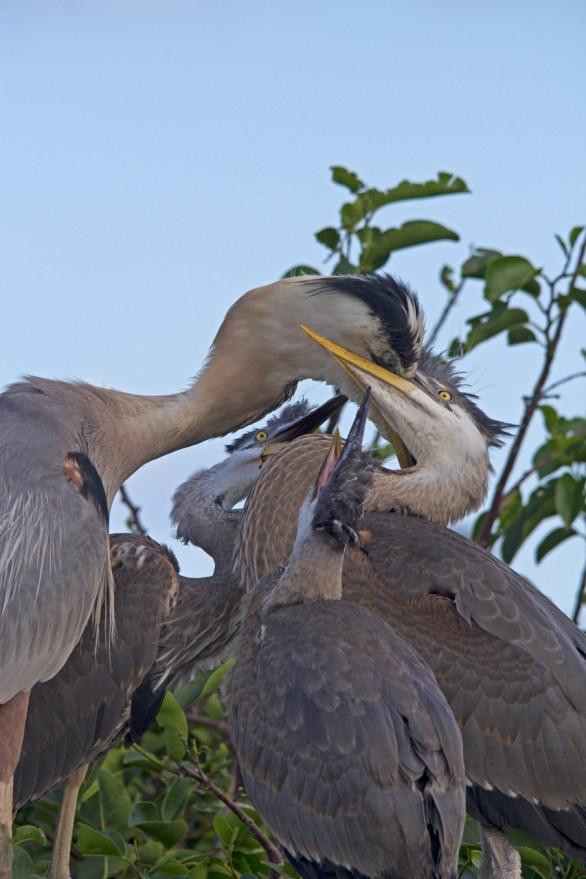 Great Blue Heron feeding hungry chicks, Wakodahatchee Wetlands, Boynton Beach, FL