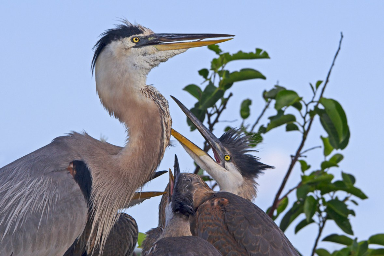 Great Blue Heron and Hungry Chicks, Wakodahatchee Wetlands, Boynton Beach, FL