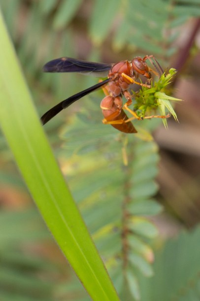 Red Wasp on green leaf, Jonathan Dickinson State Park, Hobe Sound, FL