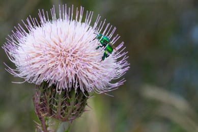 Bug on Bull Thistle, Jonathan Dickinson State Park, Hobe Sound, FL