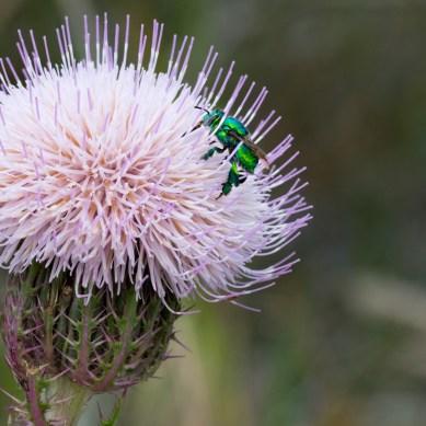 Bug on Bull Thistle, Jonathan Dickinson State Park, Hobe Sound, FL