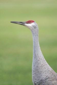 Florida Sandhill Crane Looking Up