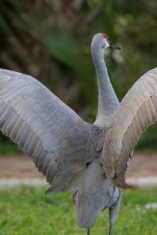 Florida Sandhill Crane Wings