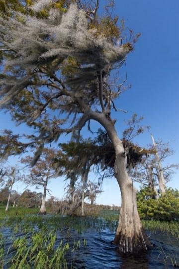 Dancing Diva, Cypress, Blue Cypress Lake, Vero Beach, FL
