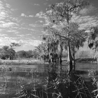 Cypress through the grass in black and white, Blue Cypress Lake, Vero Beach, FL