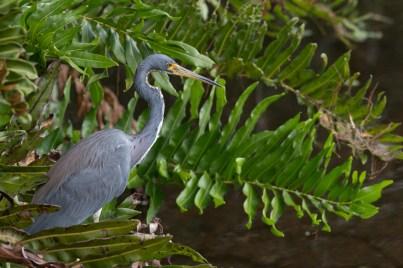 Tricolor Heron, Wakodahatchee Wetlands, Boynton Beach, FL