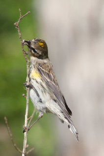 Yellow rumped warbler, Corkscrew Swamp Sanctuary, Naples, FL