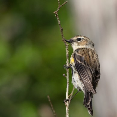 Yellow rumped warbler, Corkscrew Swamp Sanctuary, Naples, FL