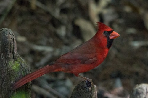 Cardinal, Corkscrew Swamp Sanctuary, Naples, FL