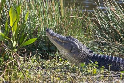 American alligator, Wakodahatchee Wetlands, Boynton Beach, FL