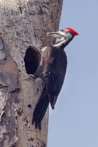 Nesting Pileated Woodpecker, Jonathan Dickinson State Park, Hobe Sound, FL