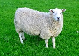A sheep as a wifi hotpsot