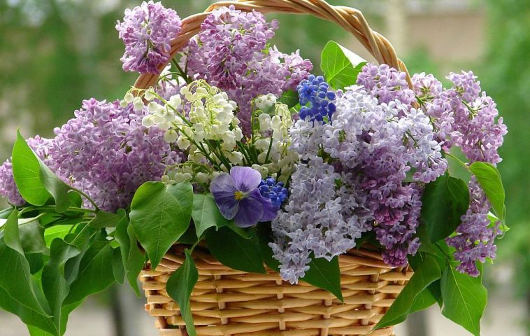 adelaparvu.com despre liliac, cum pastrezi liliacul mai mult timp in vaza, Text Carli Marian (1)