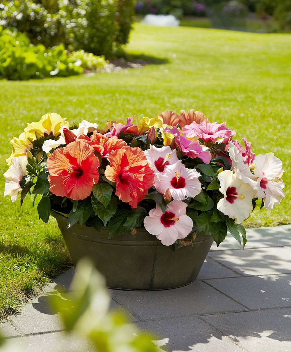 adelaparvu.com despre trandafirul japonez, trandafirul chinezesc, Hibiscus, text Carli Marian, Foto Floradania (7)
