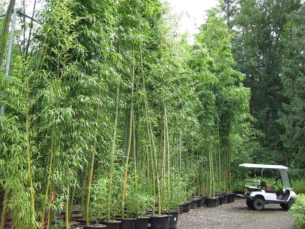 Bambusul Auriu Crește Repede și Mare 238 N Grădinile Noastre