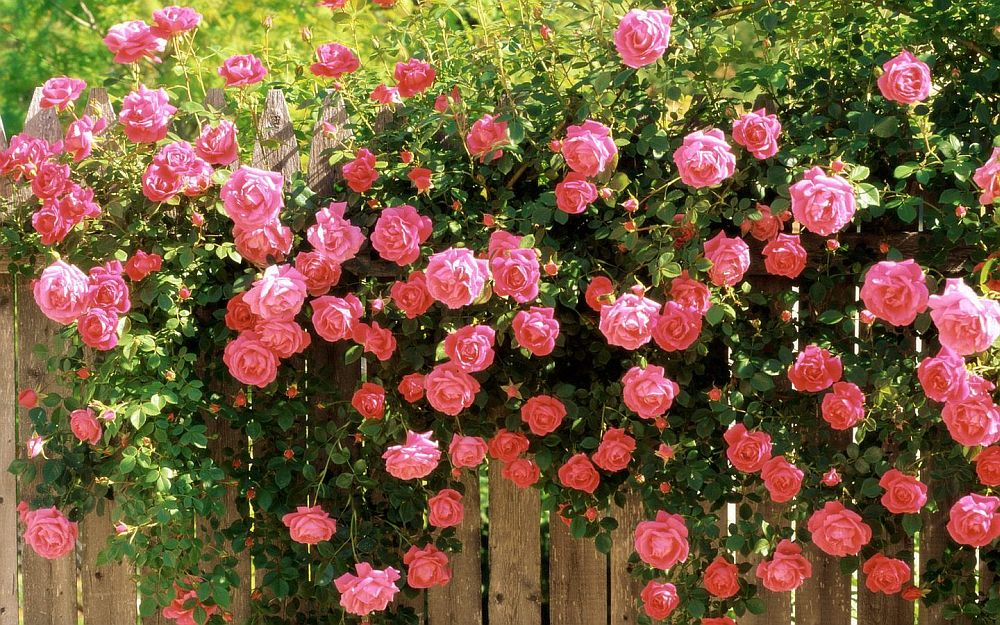 adelaparvu.com despre bolile si daunatorii trandafirului, Text Carli Marian