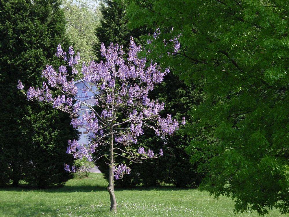 adelaparvu.com despre arborele minune Paulownia, arborele care creste 5 metri pe an, Text Carli Marian (1)