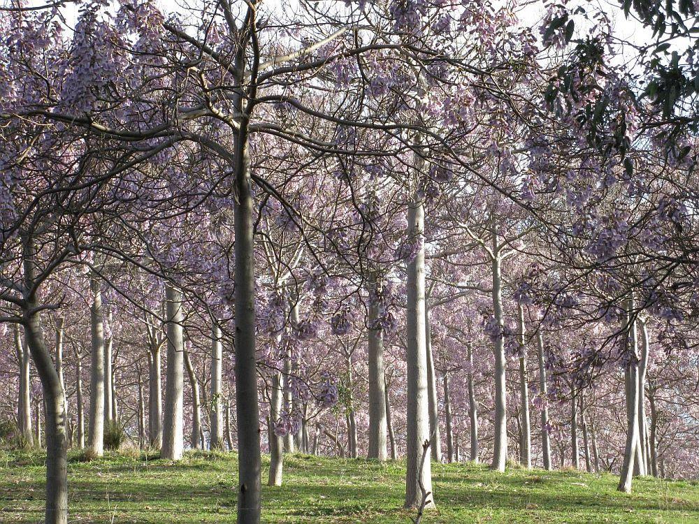 adelaparvu.com despre arborele minune Paulownia, arborele care creste 5 metri pe an, Text Carli Marian (10)