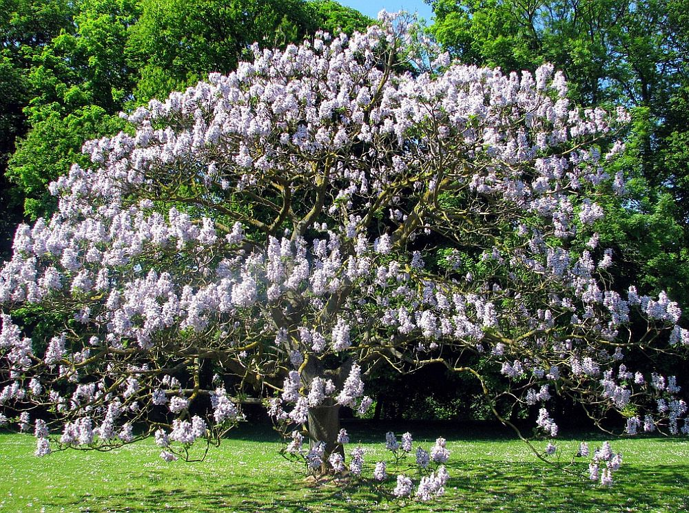 adelaparvu.com despre arborele minune Paulownia, arborele care creste 5 metri pe an, Text Carli Marian (3)