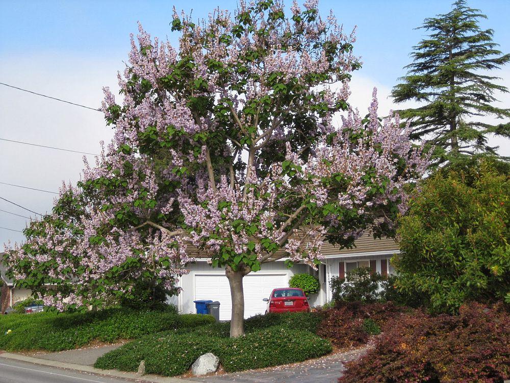 adelaparvu.com despre arborele minune Paulownia, arborele care creste 5 metri pe an, Text Carli Marian (4)