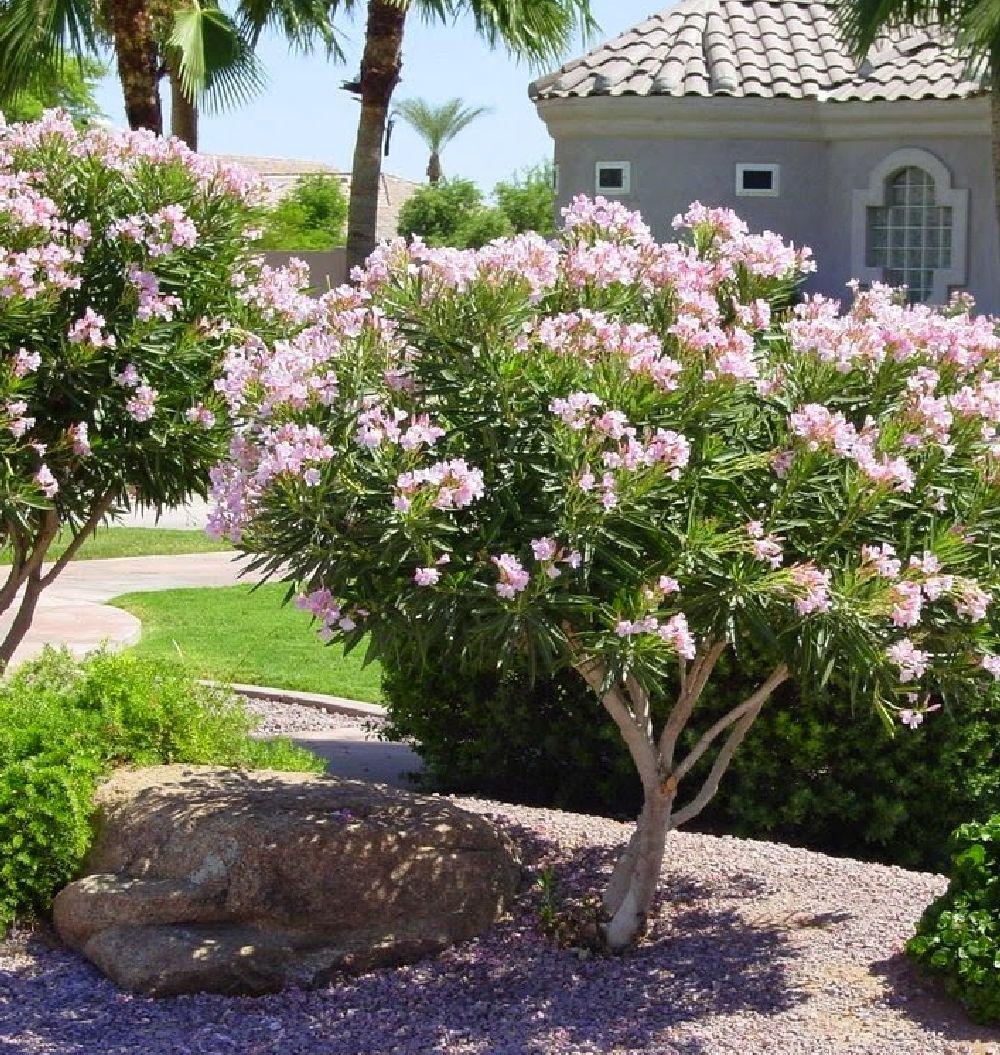 adelaparvu.com despre Nerium Oleander, leandrul potrivit in gradina si pe balcon, Text Carli Marian (18)