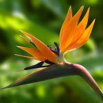 adelaparvu.com despre Strelitzia Reginae la ghiveci si in gradina, Text Carli Marian, Foto bloomstoday.com foto