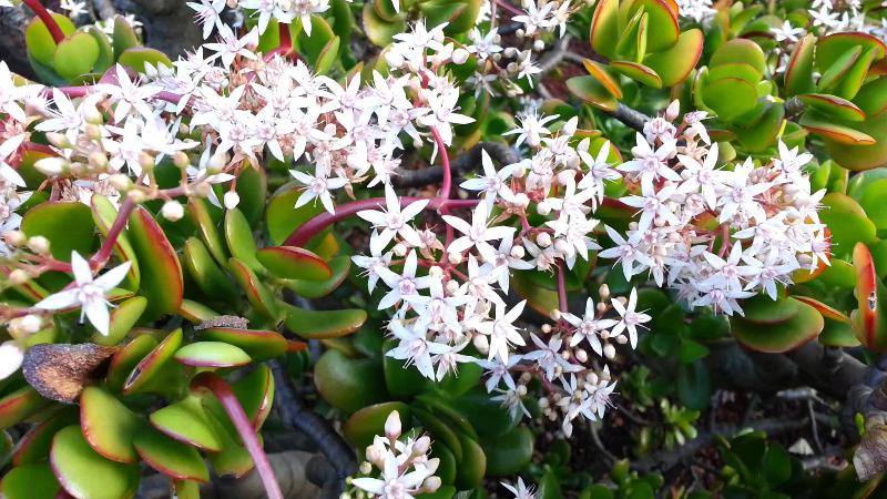 adelaparvu.com despre Crassula ovata, arborele de jad sau planta norocoasa, Text Carli Marian (5)