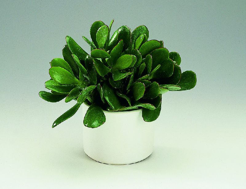 adelaparvu.com despre Crassula ovata, arborele de jad sau planta norocoasa, Text Carli Marian (7)