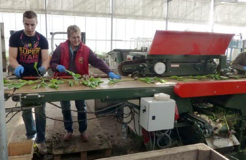 adelaparvu.com despre drumul lalelelor de la cultivare la recoltare, Sera Munster Olanda,Text Carli Marian (8)