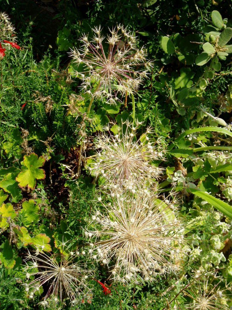 adelaparvu.com despre plante care fac gradina frumoasa toamna si iarna, Text Carli Marian, in foto Allium christophii