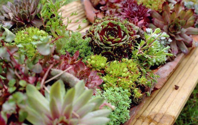 adelaparvu.com despre plante suculente rezistente la frig, Text Carli Marian, in Foto Sempervivum