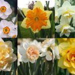 adelaparvu.com despre top 10 soiuri Narcise, Text Carli Marian