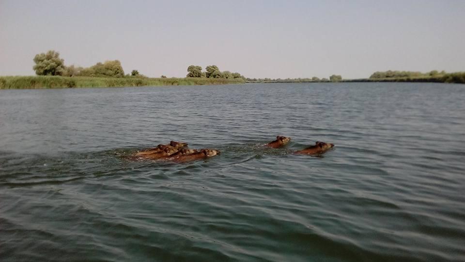 porci mistreti in delta
