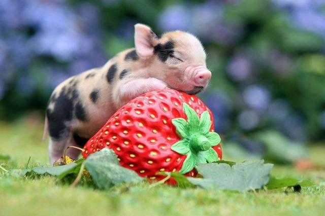 micro porc cu capsuna