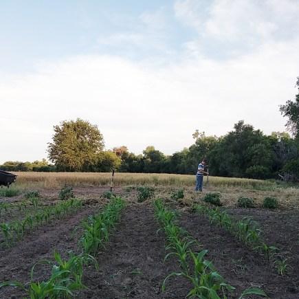 Sweet Corn Hopes