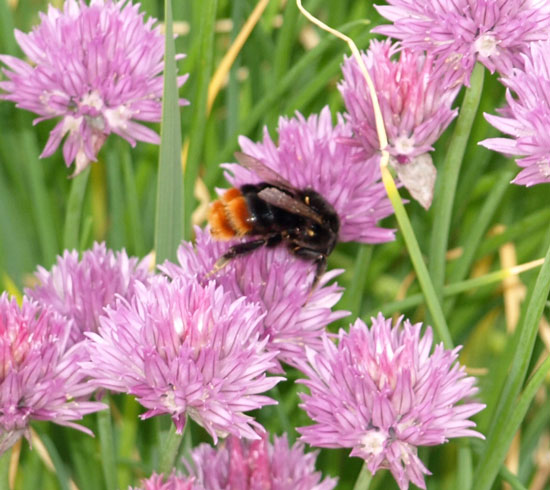 bumble bee on alium