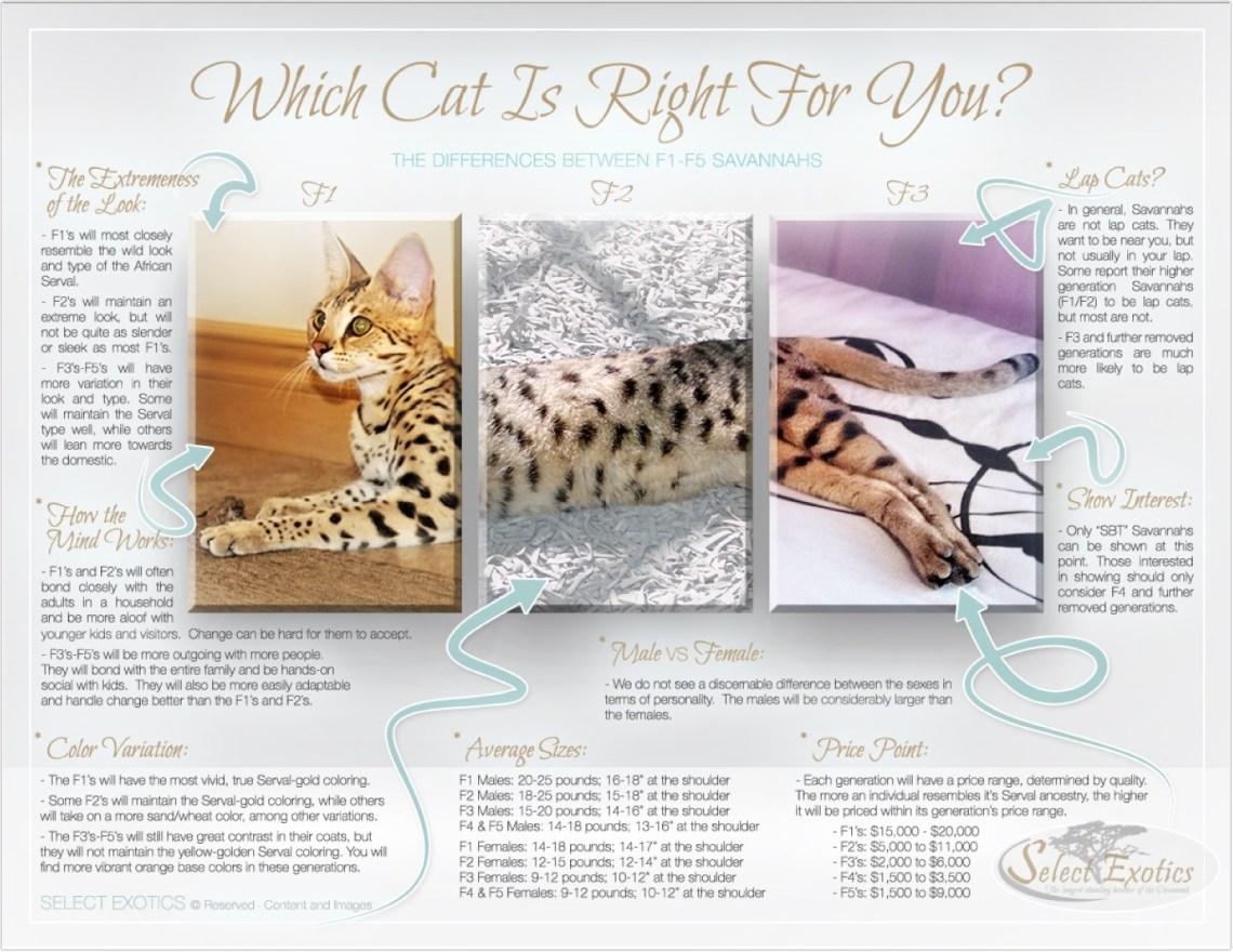 savannah-cat_7