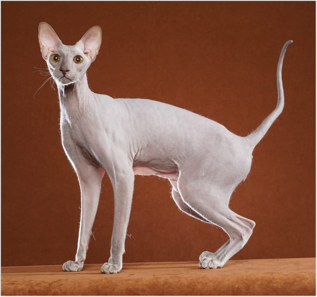 hairless-cat_16