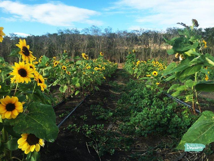 Una finca de Girasoles en Guánica