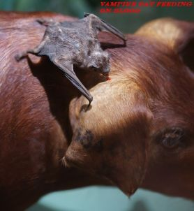 The Blood Feeding Vampire Bats Sanguivorous Mammals adidarwinian
