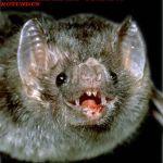 The Blood Feeding Vampire Bats Videos