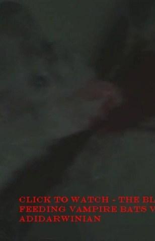 The Blood Feeding Vampire Bats Video - adidarwinian